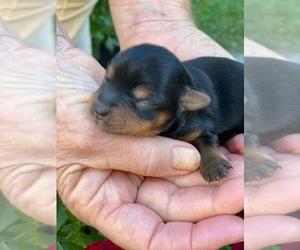 Yorkshire Terrier Puppy for sale in CORNERSVILLE, TN, USA