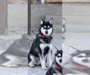 Medium Alaskan Klee Kai