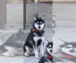 Small Alaskan Klee Kai