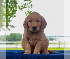 Golden Retriever Puppy for sale in NARVON, PA, USA
