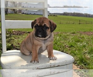 Puggle Puppy for sale in GOSHEN, IN, USA