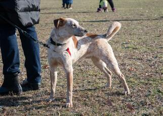 Rex - Terrier / Australian Cattle Dog/Blue Heeler / Mixed Dog For Adoption