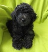 Labradoodle Puppy For Sale in COMER, GA,