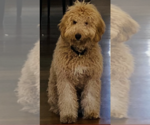 Australian Labradoodle Puppy for Sale in SACRAMENTO, California USA