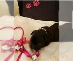 Small Photo #2 French Bulldog Puppy For Sale in CAPE CORAL, FL, USA