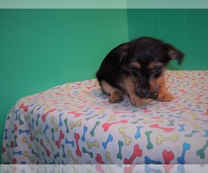 Torkie Puppy for sale in PATERSON, NJ, USA