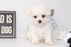 Maltese Puppy For Sale in NAPLES, FL,