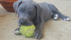 Great Dane Puppy For Sale in DENTON, TX,