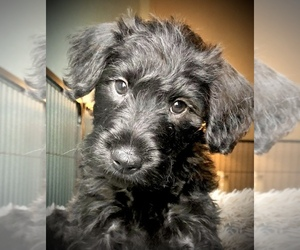 Schnauzer (Miniature)-Whoodle Mix Puppy for sale in SAGLE, ID, USA