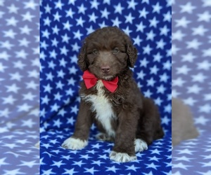 Aussiedoodle Puppy for sale in PORT DEPOSIT, MD, USA