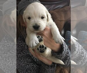 Golden Retriever Puppy for sale in GARDEN CITY, CO, USA