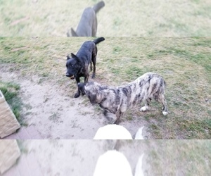 Dutch Shepherd Dog Puppy for sale in PINEBLUFF, NC, USA