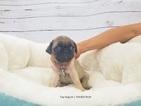 Pug Puppy For Sale in LA MIRADA, CA,