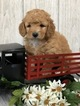 Goldendoodle-Poodle (Toy) Mix Puppy For Sale in SHIPSHEWANA, IN, USA