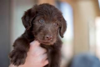 Labradoodle Puppy For Sale in SAHUARITA, AZ