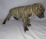 Puppy 9 American Pit Bull Terrier-American Staffordshire Terrier Mix