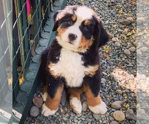 Bernese Mountain Dog Puppy for sale in VANCOUVER, WA, USA