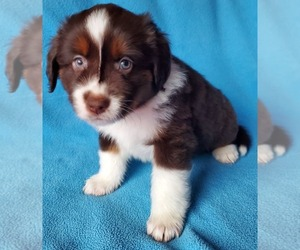 Miniature Australian Shepherd Dog for Adoption in HILLSBORO, Oregon USA