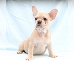 French Bulldog Puppy for sale in LAKEWOOD VILLAGE, TX, USA