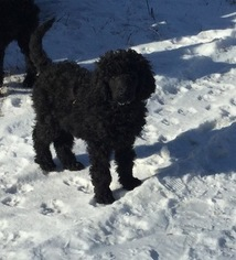 Poodle (Standard) Puppy For Sale in ORANGE, MA