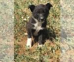 Puppy 4 Border Collie