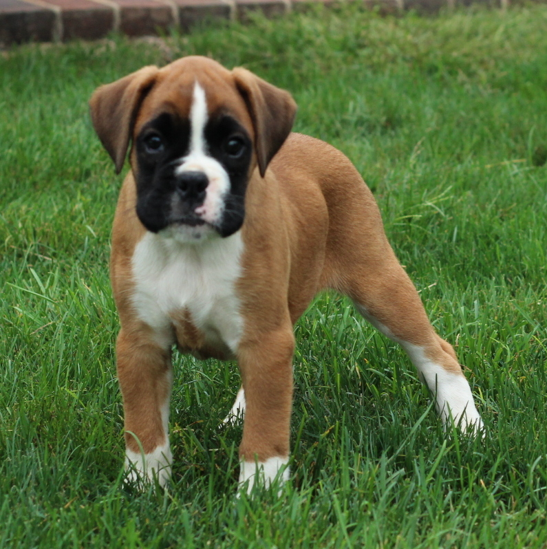 View Ad: Boxer Puppy for Sale near Ireland