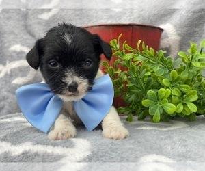 Wapoo Puppy for sale in CEDAR LANE, PA, USA