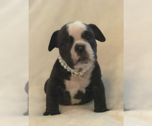 English Bulldog Puppy for sale in DIXON, CA, USA