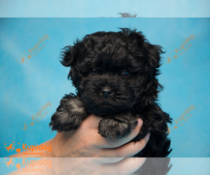 Russian Tsvetnaya Bolonka Puppy for sale in Sergiyev Posad, Moscow Oblast, Russia
