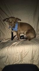 Dachshund Puppy For Sale in WEST BLOOMFIELD, MI