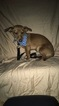 Dachshund Puppy For Sale in WEST BLOOMFIELD, MI