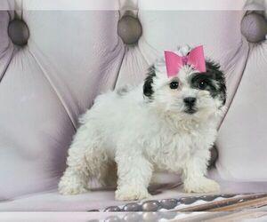 Zuchon Puppy for Sale in WARSAW, Indiana USA