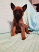 Belgian Malinois Puppy For Sale in BERRY, AL
