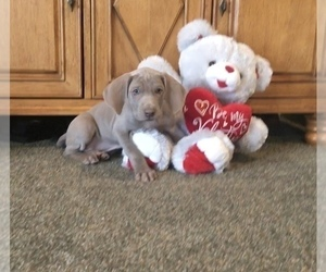 Weimaraner Puppy for Sale in WILLOWS, California USA