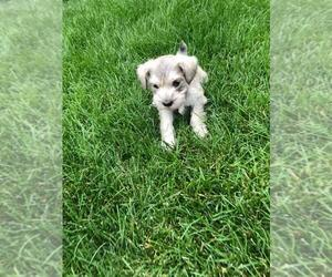 Schnauzer (Miniature) Puppy for sale in CIMARRON HILLS, CO, USA