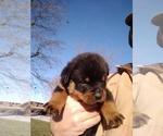 Small #15 Rottweiler