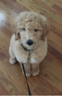 Goldendoodle Puppy For Sale in BRIDGEPORT, CT,