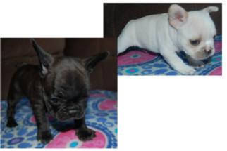 French Bulldog Puppy for sale in STOCKTON, CA, USA