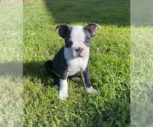 Boston Terrier Puppy for Sale in VALLEJO, California USA