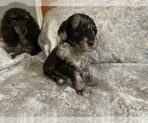 Poodle (Miniature) Puppy for Sale in CLARKSVILLE, Tennessee USA
