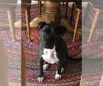 Small #16 American Staffordshire Terrier-Labrador Retriever Mix