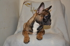 French Bulldog Puppy For Sale in ATLANTA, GA, USA