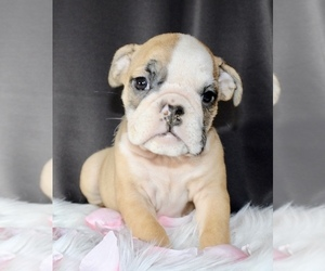 Bulldog Puppy for sale in LITTLE ELM, TX, USA
