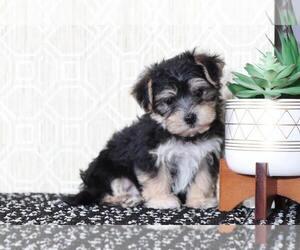 Morkie Puppy for sale in EL CAJON, CA, USA
