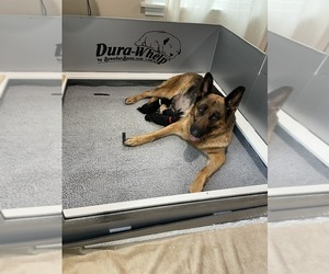 German Shepherd Dog Puppy for Sale in WATKINS GLEN, New York USA