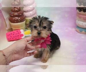 Morkie Dog for Adoption in LAS VEGAS, Nevada USA