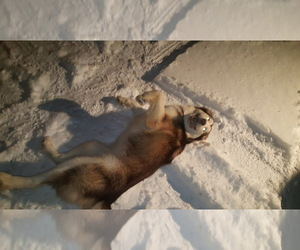 Mother of the Alaskan Malamute puppies born on 08/22/2020