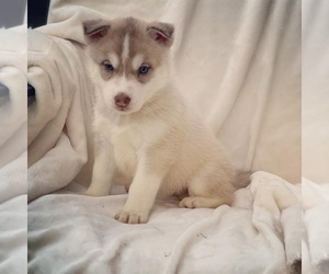 Siberian Husky Puppy for Sale in GARDEN VALLEY, Texas USA