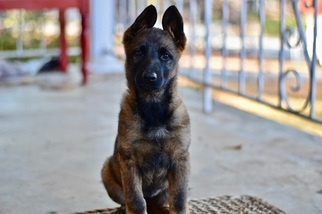 German Shepherd Dog Puppy For Sale in MARIETTA, GA
