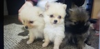Pomeranian Puppy For Sale in TACOMA, WA, USA